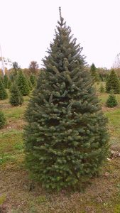 coloradospruce