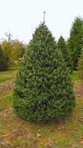 whitespruce